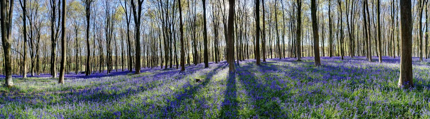 Bluebells in Micheldever Woods image from the Landscape gallery by Nick Oakley Photopgraphy