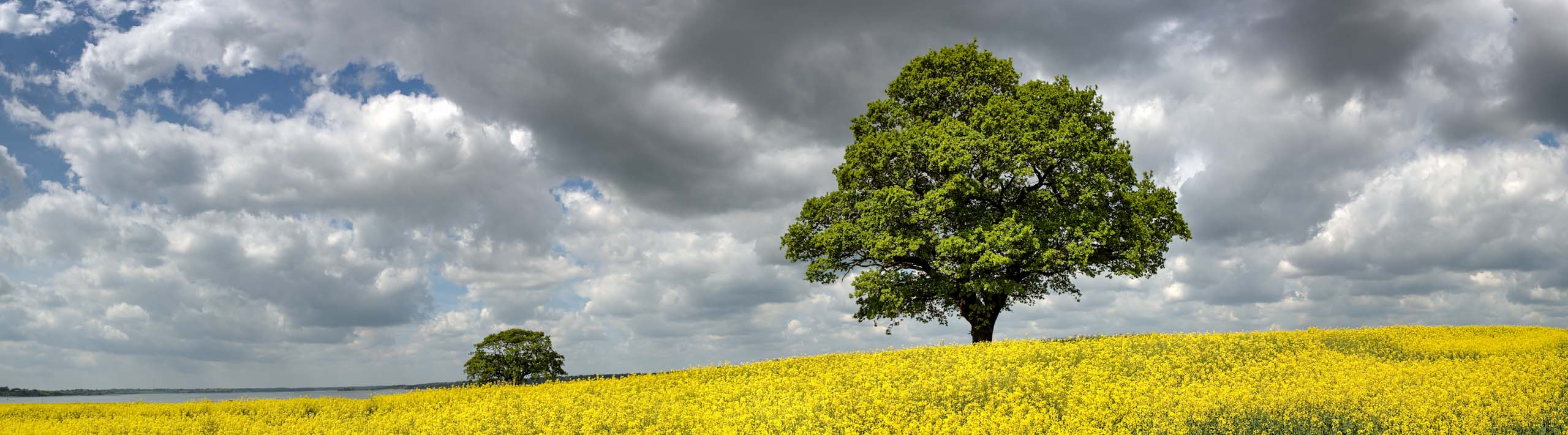 Landscape Photograph Spring in Suffolk of oak trees in a rape field by Nick Oakley Photography