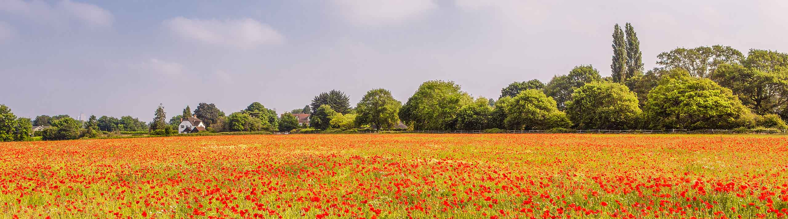Landscape picture of field of red poppy flowers