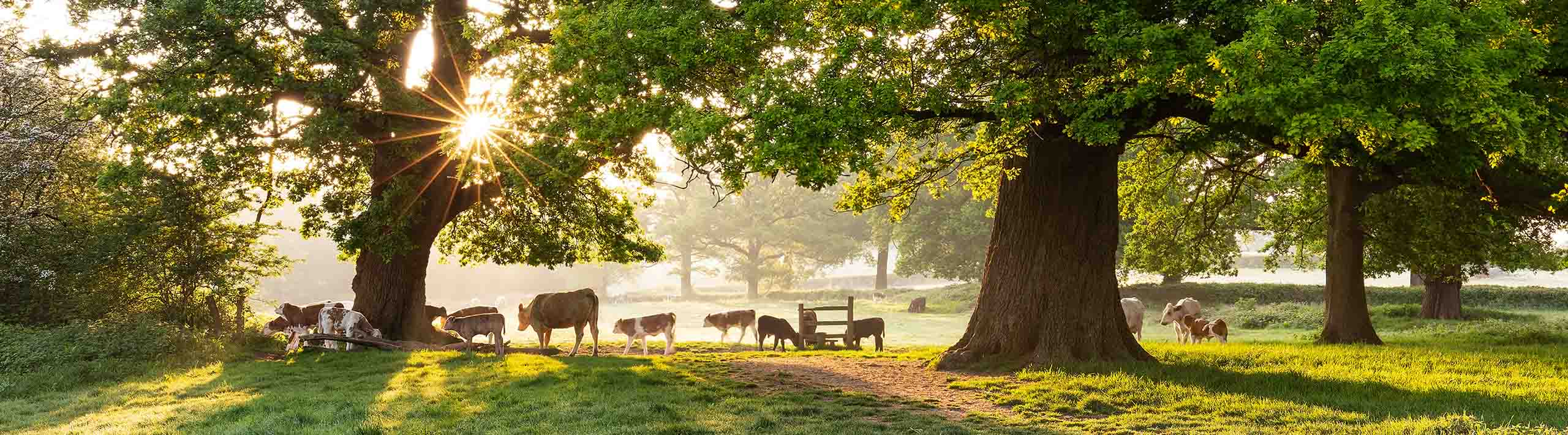 Landscape picture of cows under oak trees in the sun