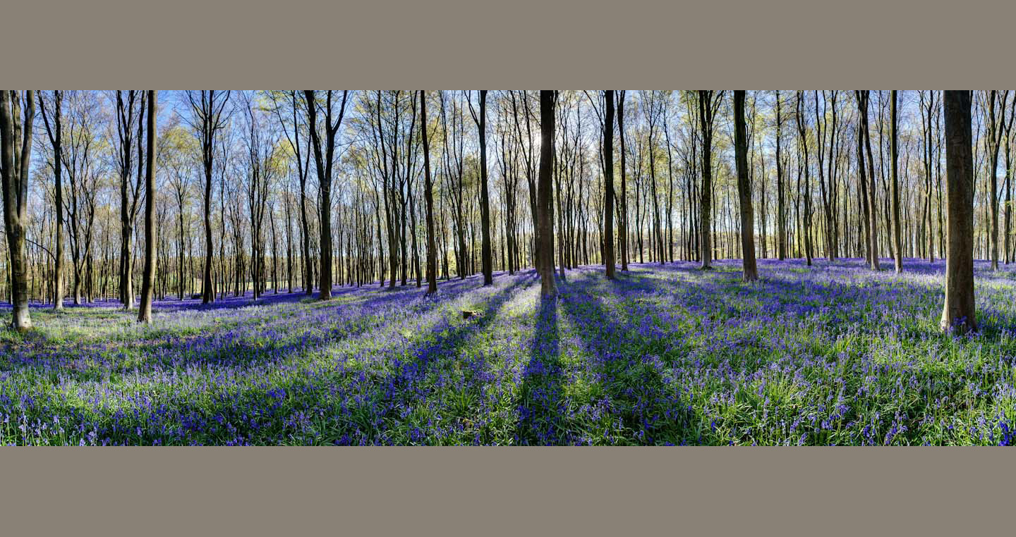 Upright beech trunks stand over their striped shadows in a bluebell wood