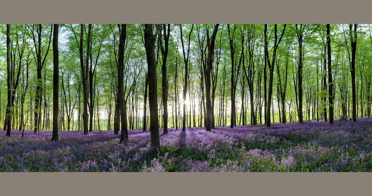 Upright trunks with fresh spring leaves stand over bluebells striped by the tree's shadows